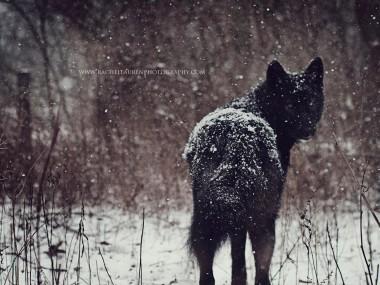 Lucian – rachel lauren photography- chien loup