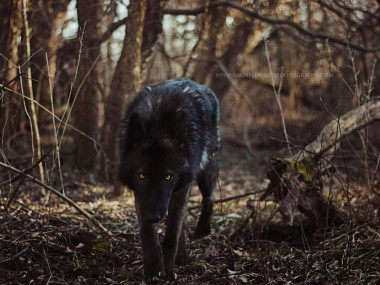 Lucian – rachel lauren photography – chien loup