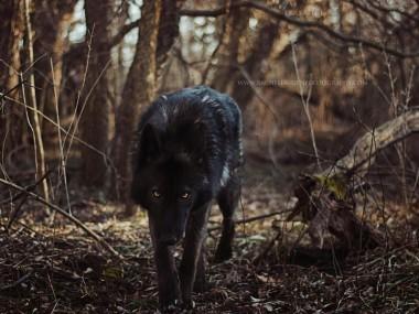 Lucian – rachel lauren photography – chien loup