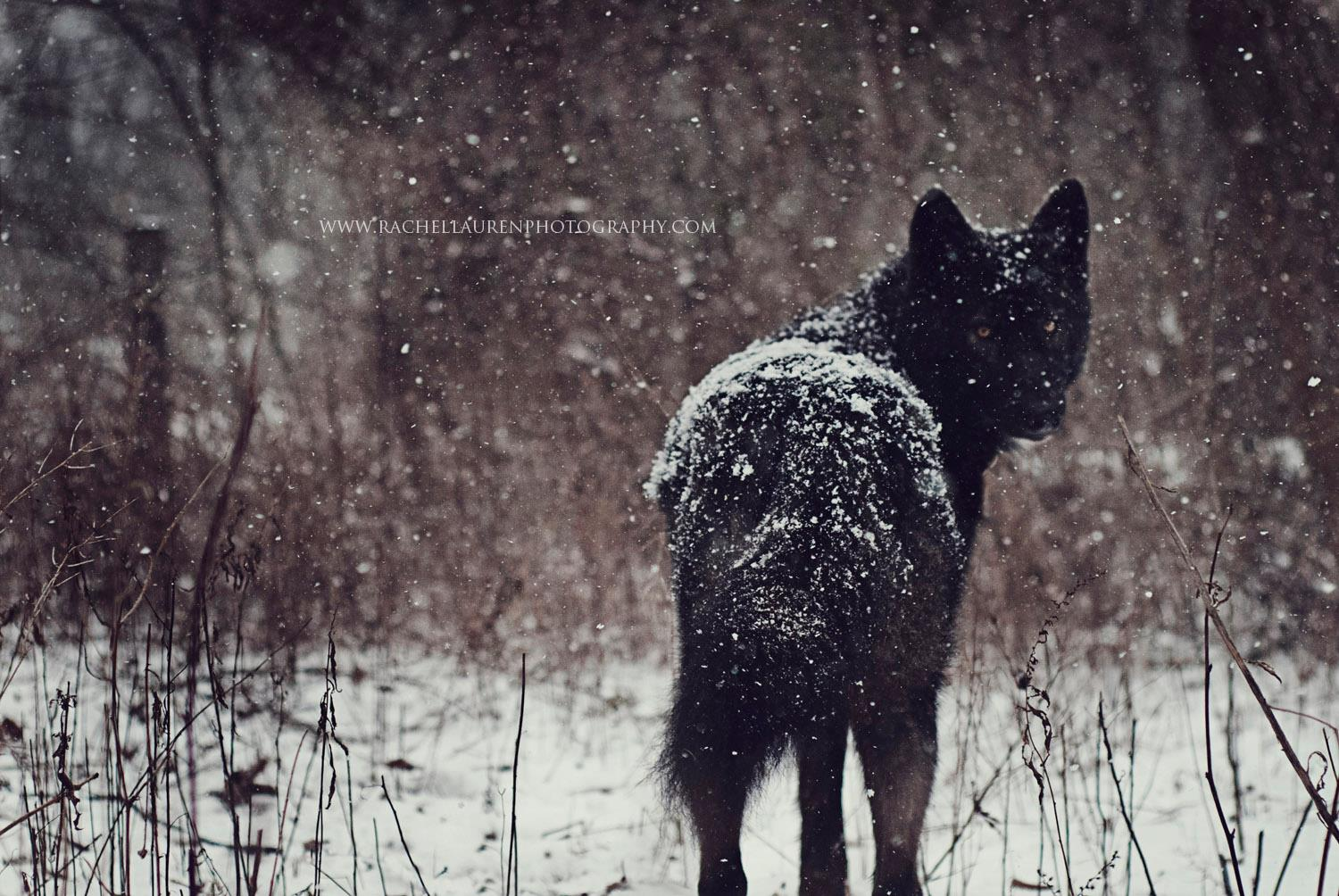 Lucian – rachel lauren photography- chien loup