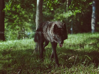 Lucian – wolfes – loup- chien-dog – rachel lauren photography