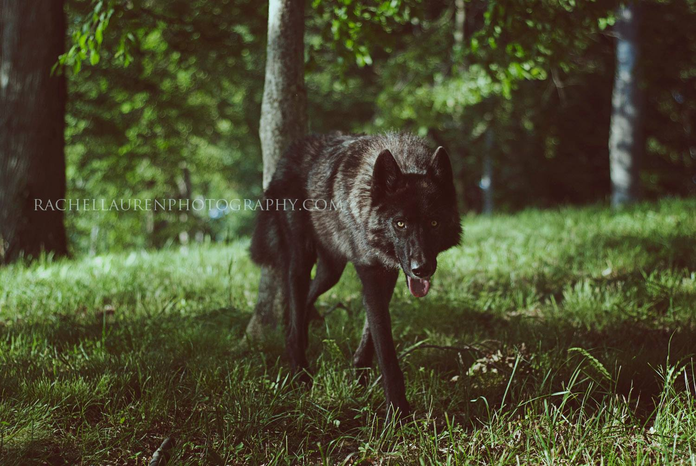 Lucian – wolfes – loup- chien-dog – rachel lauren photography