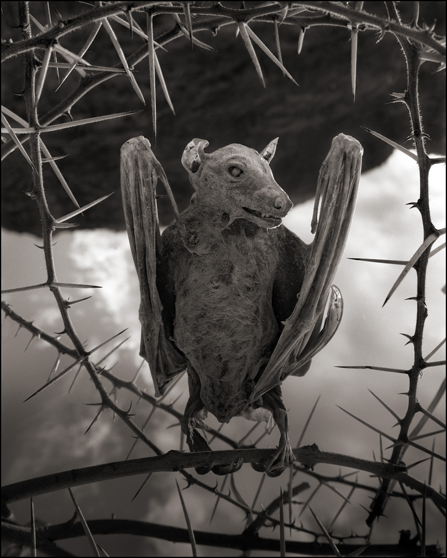 Nick Brandt – Calcified Bat II – damned tanzanie lake
