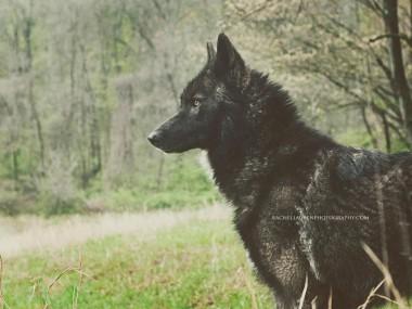 le chien qui se prenait pour un loup – rachel lauren photography