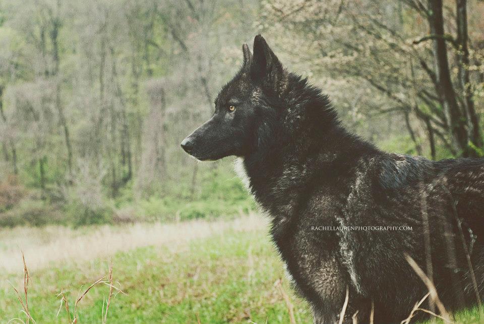 Lucian - le chien-loup ! -Blog Graphiste / Sculptures
