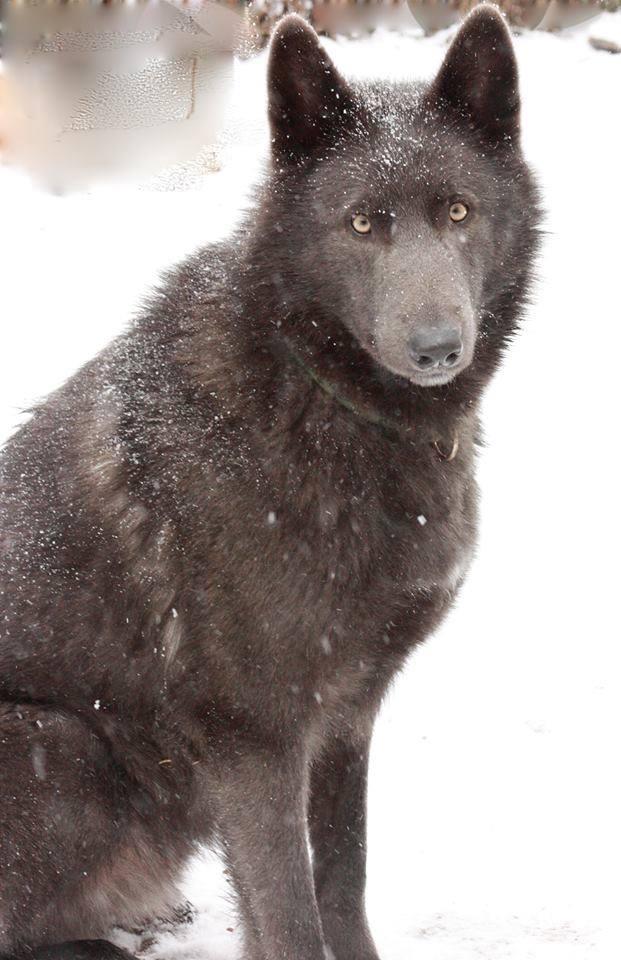 Chien Blue Bay Shepherds – chien à l'apparence d'un loup (USA)