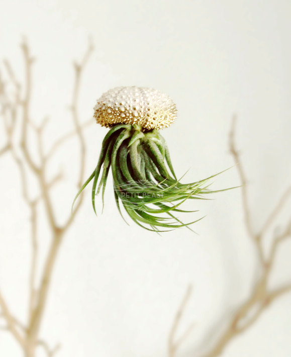 Jelly fish air plant – Petitbeast