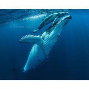 Beautiful whales photo - Darren Jew - Australia