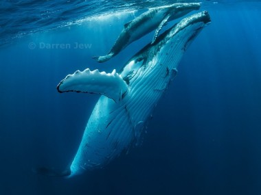 Beautiful whales photo – Darren Jew – Australia