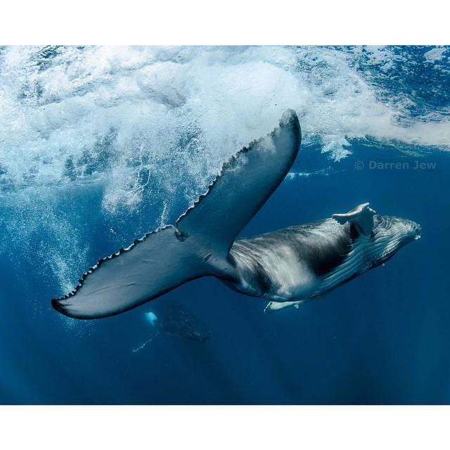 Beautiful whales photography – Darren Jew – Australia