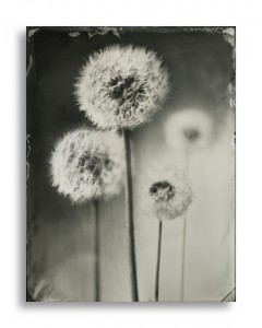 Dave King - Dandylion - Quarter Plate Black Perspex Ambrotype