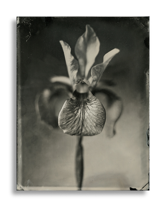 Dave King – Iris – Quarter Plate Black Perspex Ambrotype
