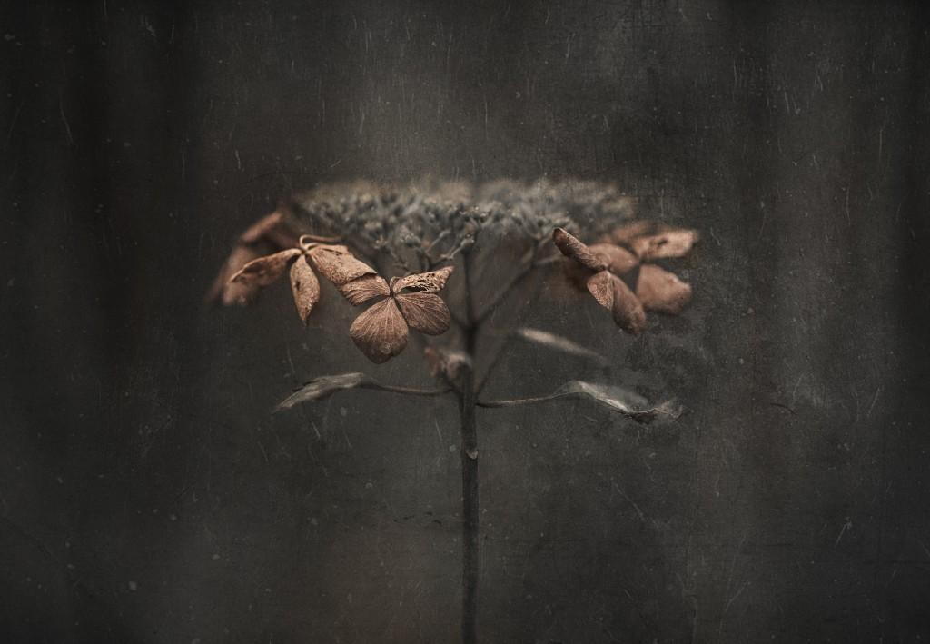 Takashi Suzuki - Hydrangea withered photo