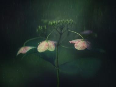 Takashi Suzuki – Hydrangea withered photo