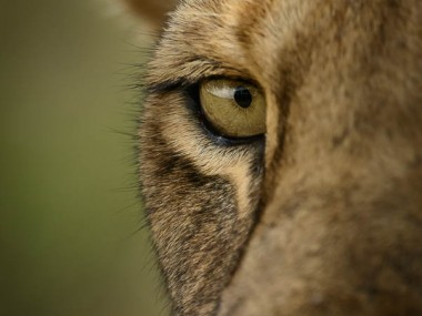 David Lloyd – lionceau photographie