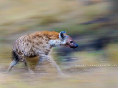 David Lloyd – photo hyenne