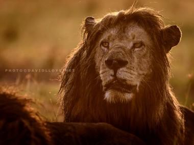David Lloyd – photo lion kenya