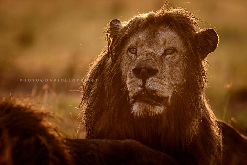 David Lloyd – photo lion kenya