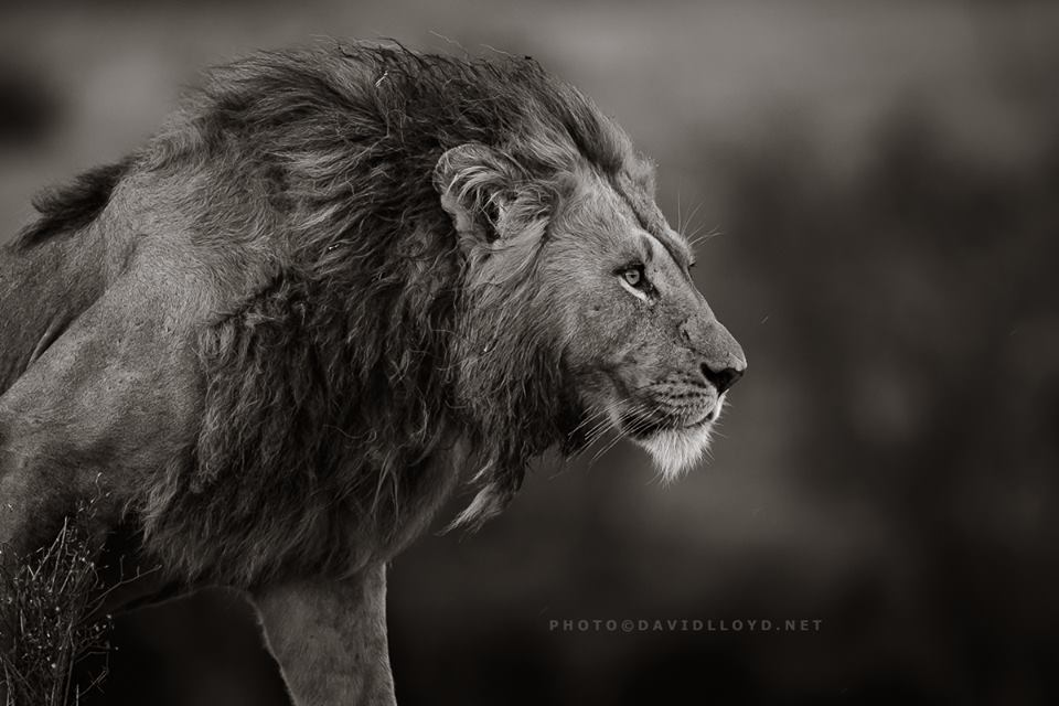 David Lloyd - photo lion