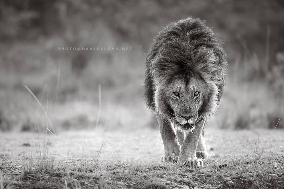 David Lloyd – photo lion