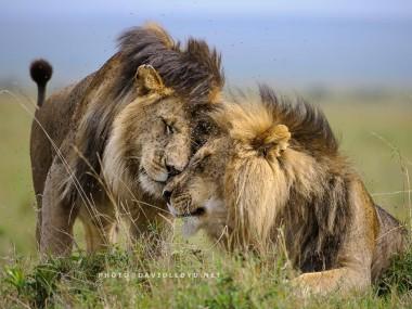 David Lloyd – photo lion