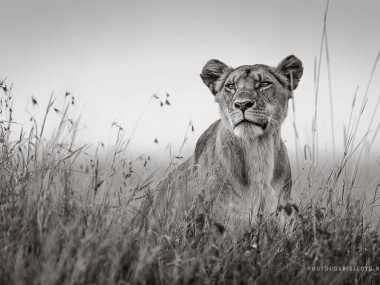 David Lloyd – photo lionne wild life