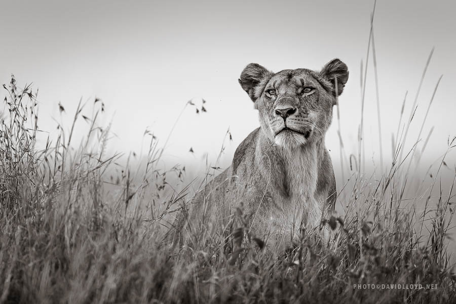 David Lloyd – photo lionne wild life