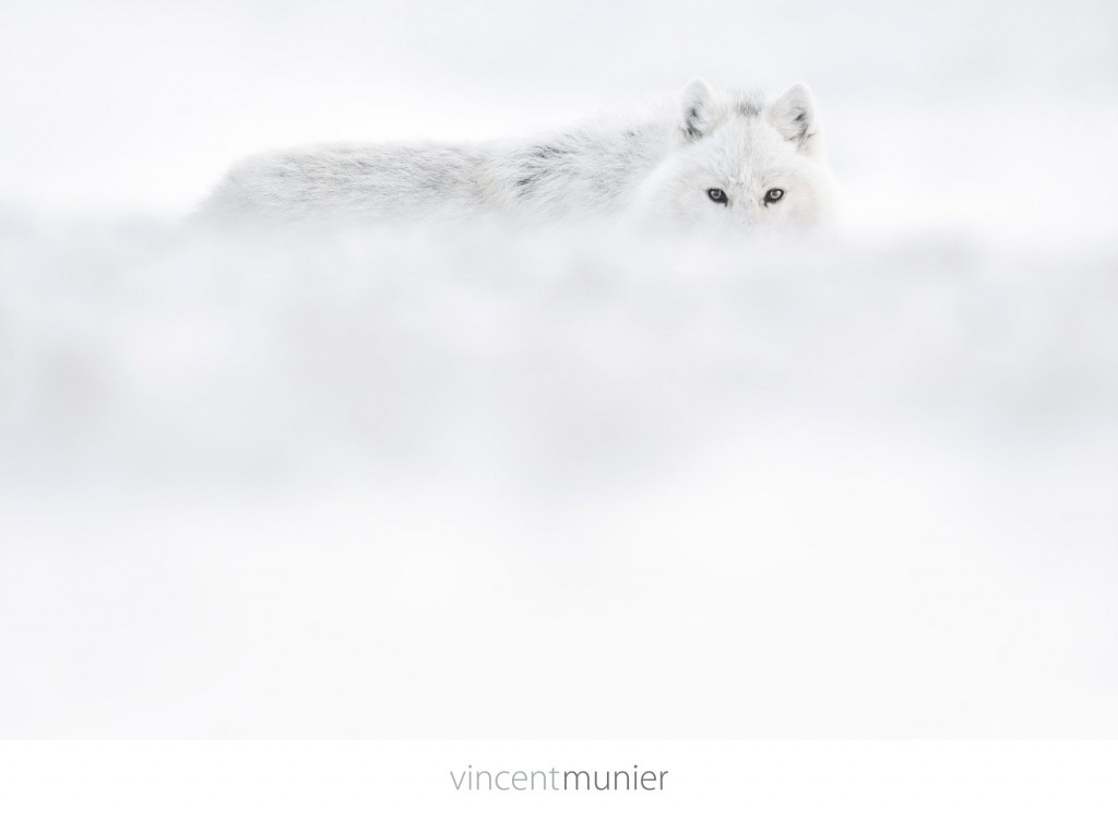 Video Arctique - Vincent Munier - Photographer