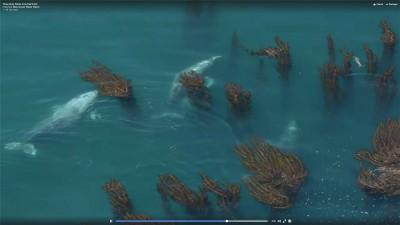 video-baleines-grises-californie
