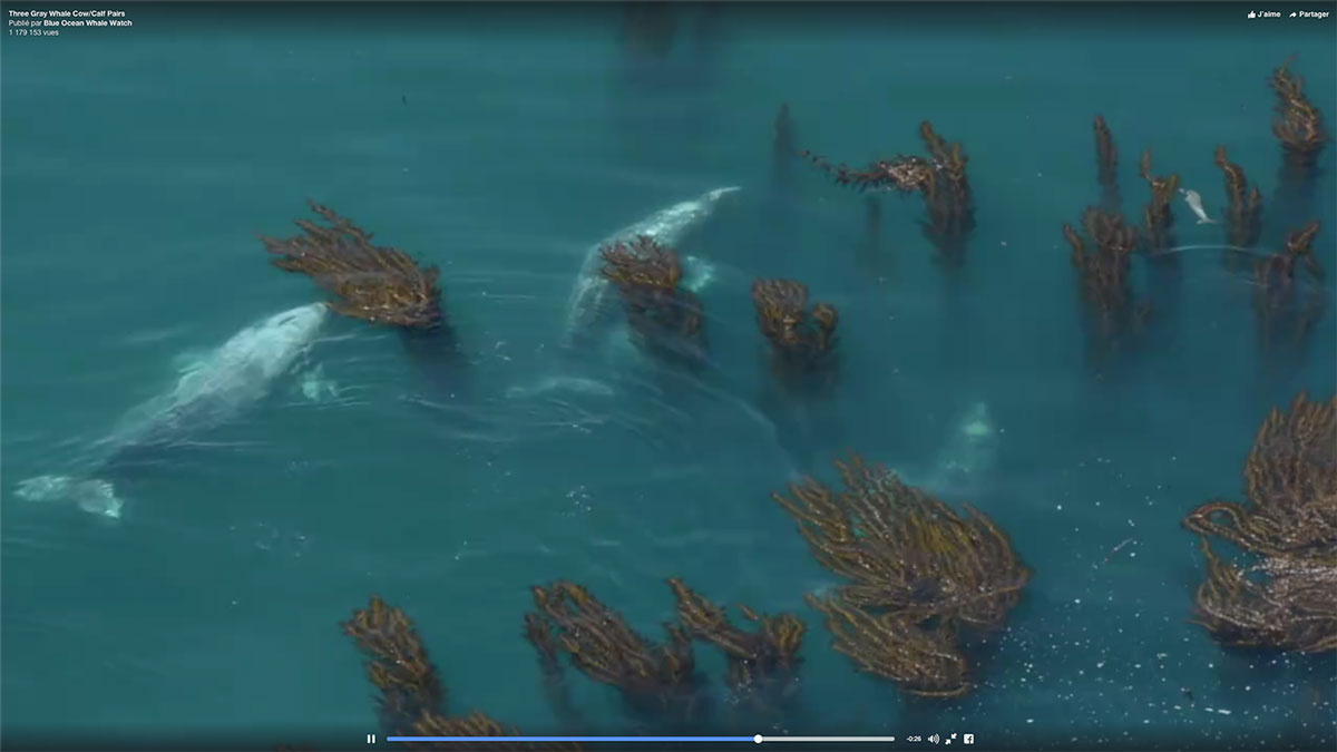video-baleines-grises-californie