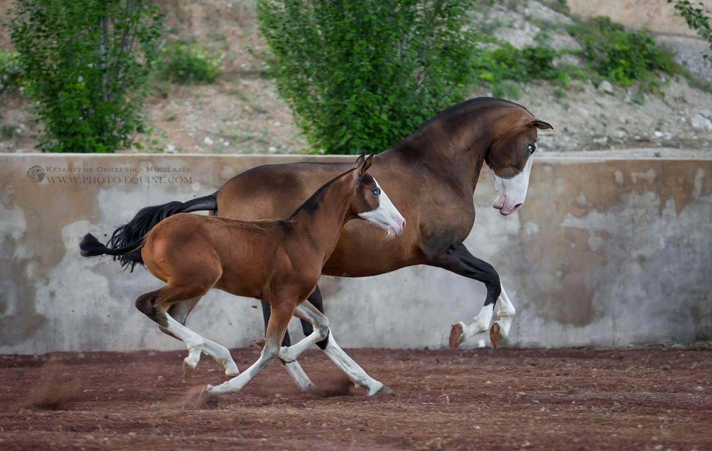 Katarzyna Okrzesik-Mikołajek – Horses photography