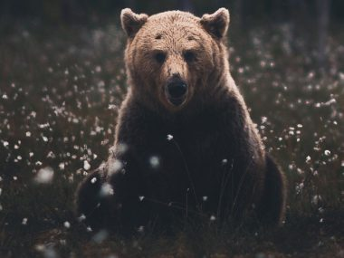 Beautiful Bear Photography wildlife ©Konsta Punkka