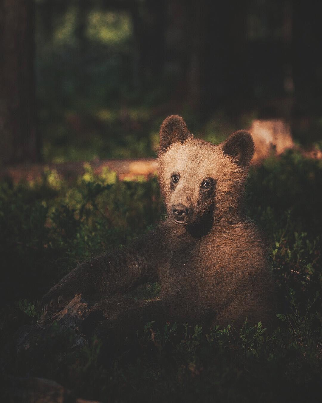 Beautiful Bear Photography wildlife ©Konsta Punkka