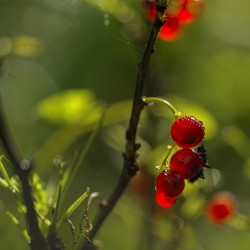 Redcurrant bunch in green ambiance