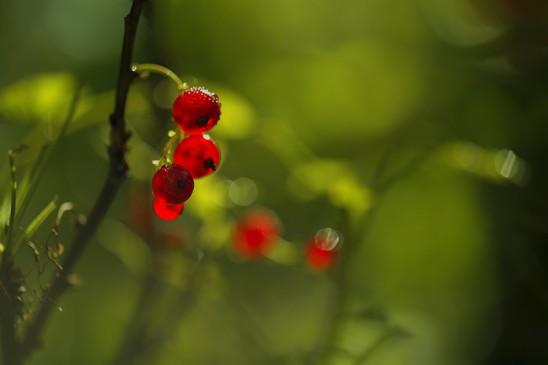 Redcurrant berry
