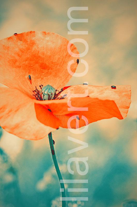 poppy_3538-preview