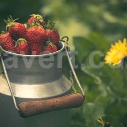 Ambiance Fraises sur pot de lait ancien vintage avec pissenlits en fond / Strawberries - Old milk pot type vintage with dandelions