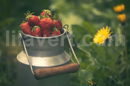 Ambiance Fraises sur pot de lait ancien vintage avec pissenlits en fond / Strawberries - Old milk pot type vintage with dandelions