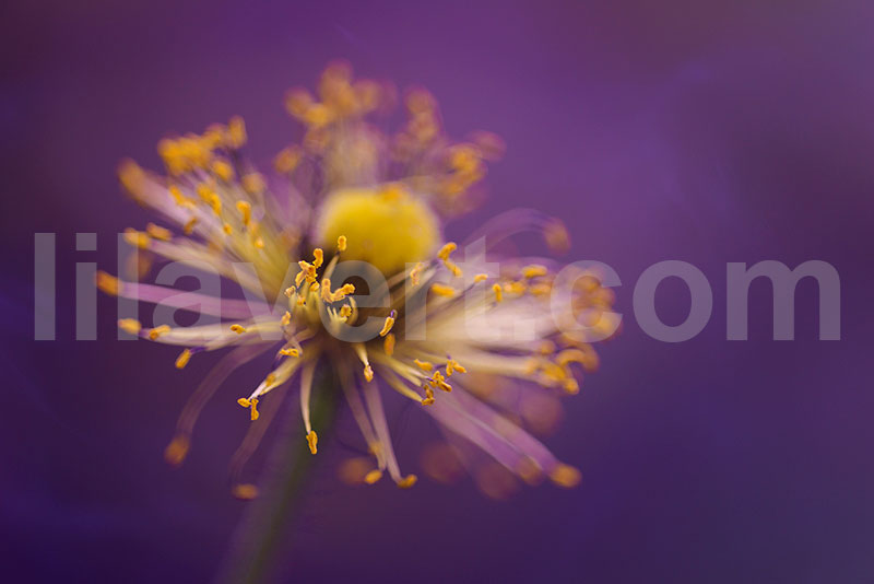 pistils flower - macro photography - stock image - purple yellow tones