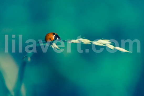 Ladybug on a blade of grass - coccinelle sur un brin d'herbe - stock photo