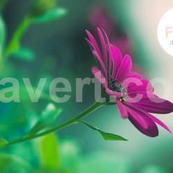 Purple flower - Free download stock
