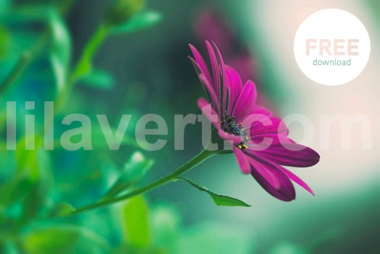 Purple flower - Free download stock