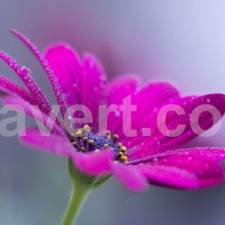 Purple flower - fleur_2899-web - free download