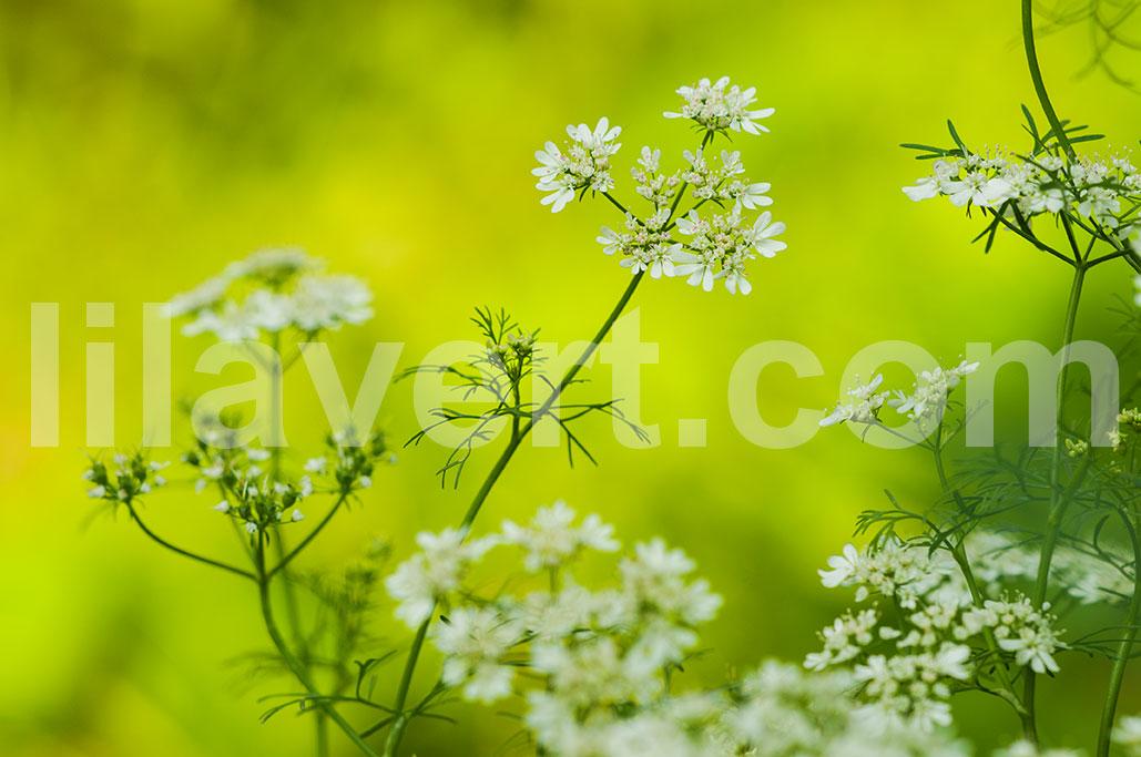 Coriandre plante - stock photos / Coriander plant ambiance