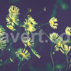 Daisy flowers – Marguerite vintage 7262 Stock photos