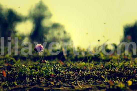Nature single flower, paysage fleur seule, automne 7260 - stock images LilaVert