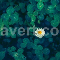 Little daisy 3570 free photostock