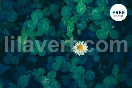Little daisy 3570 free photostock - free download / Petite marguerite entourée de trèfles à quatre feuilles - photo gratuite